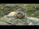 Spéciale siestes de marmottes