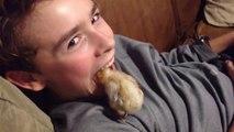 On peut aussi s'amuser avec des poules et poussins... Compilation