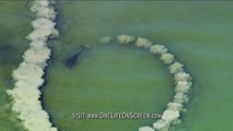 La technique de peche de ces dauphins est incroyable : cercle de boue pour aveugler les poissons