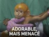Ce petit singe est l'un des derniers de son espèce...
