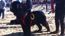 Démonstration de sauvetage avec des chiens Terre-neuve