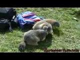 Grognements de marmottes
