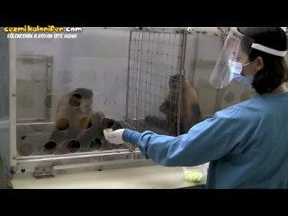 Adaletsizlik Karşısında Maymunların Tepkisi