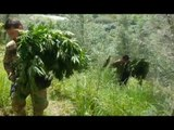 Oppido Mamertina (RC) - Coltiva marijuana in area demaniale, arrestato (29.04.17)