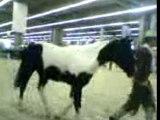 Paint et Quarter horse