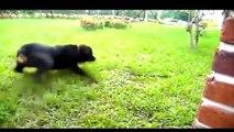 كلاب تهاجم حيوانات مفترسة   كلب بيتبول يهاجم اسد