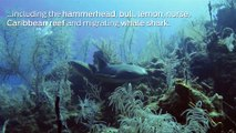 Scuba Diving Encounters: Diving with Sharks in Belize