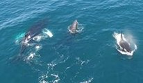 Humpback Whales Interfere as Killer Whales Feed on a Gray Whale Calf