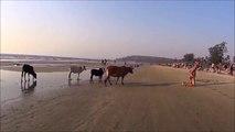 Quand des vaches ne veulent pas d'un touriste sur leur plage