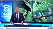Lutte biologique contre le Cynips du châtaignier par Torymus sinensis