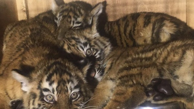 Three baby tiger cubs held in tiny filth-infested crate at Beirut airport for 7 days