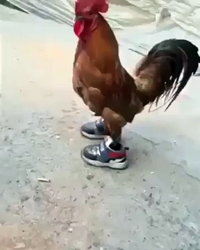 CHICKEN IN SNEAKERS