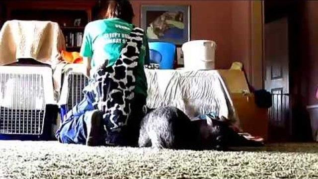 Four Wombat Joeys Team Up to Hassle Caretaker
