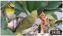 Wild birds- Bird feeding baby bird in nest - birds life