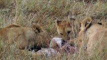 Lions enjoy lunch on the Masai Mara, Kenya