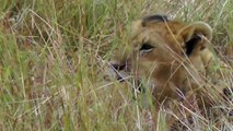 Young lions play in the long grass on the Masai Mara, Kenya, Africa