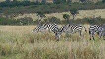 Zebra Herd On The Masai Mara, Kenya, Africa