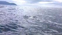 Mer de dauphins en Tasmanie : impressionnant !