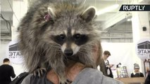 Pests or Pets? Domesticated Raccoons Becoming Increasingly Popular in Russia