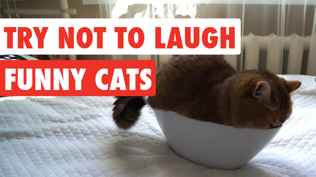 Try Not To Laugh   Funny Cat Video Compilation 2017
