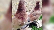 (kuşlar videoları)en iyi damızlık süslü güvercin kafesleri ve güvercinler günü etkinliği / best breeding fancy pigeons cages & pigeons day activity (birds videos)