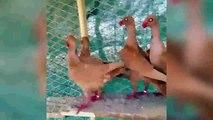 en iyi fantezi güvercin yetiştiricilerinin 011 loft / best  fancy pigeons breeders  loft 011