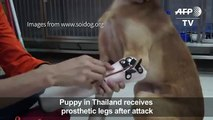 Puppy receives prosthetic pws after attack