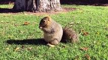 L'écureuil le plus GROS du monde lol.. Il bouffe tout le temps !