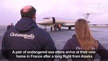 Endangered sea otters fly into e