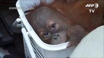 Baby orangutans rescued in Thai police sting[1]