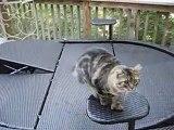 Personne ne voulait de ce chat à six orteils...