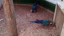 Mavi Altın Ara Papağanı...!