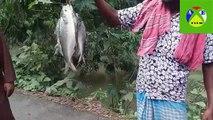 ilish(Hilsa) Fish catching in River_ilish fish catching