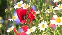 Où sont passées les fleurs des champs -FNnZF5vUl-A