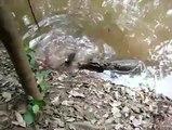 Un alligator s'attaque à une anguille électrique, qui va remporter le combat ?
