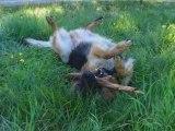 Berger Allemand - Cooper, un chien plein de vie !