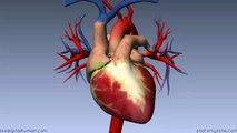 Heart Anatomy - Left Atrium - 3D Anatomy Tutorial-2017