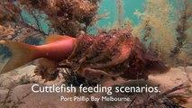 Ce poisson Seiche avale les poissons d'un coup !
