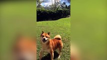 Ce chien joue avec une balle imaginaire !