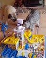 Quand un chien et un chat jouent à un jeu de société ensemble, ça fini en bagarre