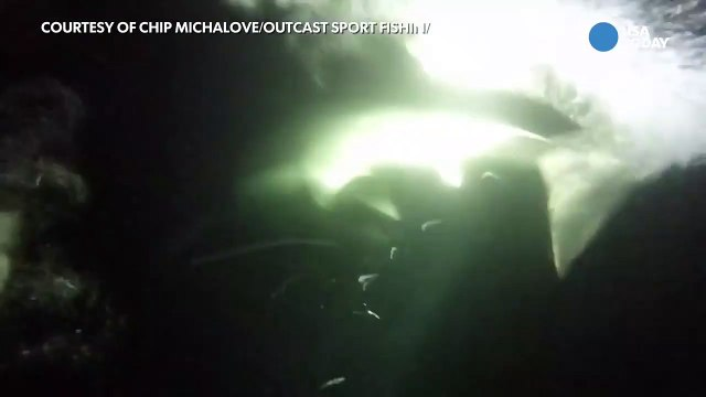 Fishermen tags huge great white shark of