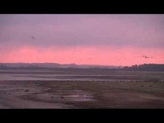 Levée de grues cendrées sur le lac du Der (Haute-Marne) / 20 novembre 2014
