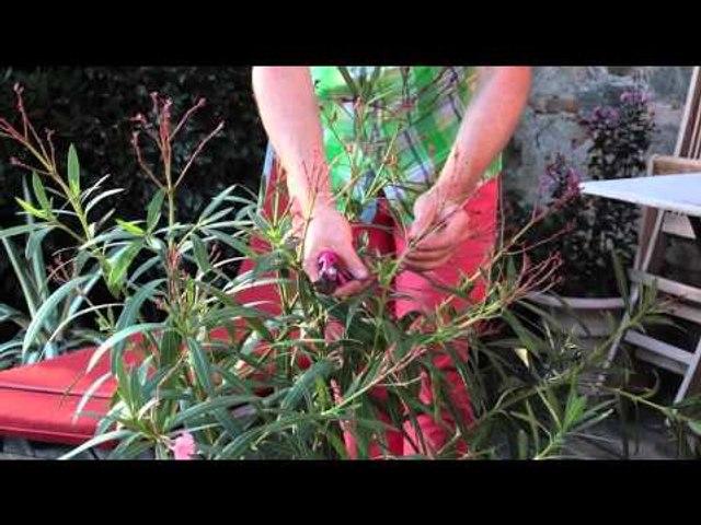 Tailler le laurier-rose