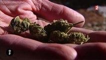 Cannabis : la moins dangereuse des drogues