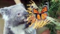 Cute Koalas Playing ny Koala Bears [Funny Pets]