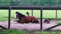 Ces bébés chèvres s'éclatent sur le dos d'un cheval