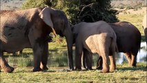 Elephants for Kids - Wild Anim ldren - Elephants Playing