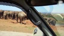 Les éléphants mâles ne sont pas toujours tendres avec les bébés !