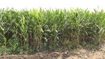 Çukurova'da silajlık mısır hasadına başlandı \ 21 08 2015 \ ADANA