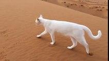 Les pattes arrière du chat se posent au même endroit que les pattes avant